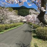 2021年御橋観音桜